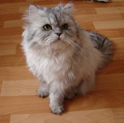 Persian cat colors