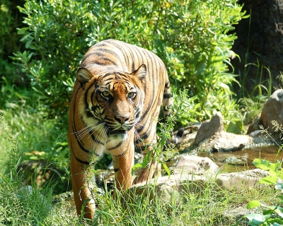 umatraanse Tiger-Wiki Commons
