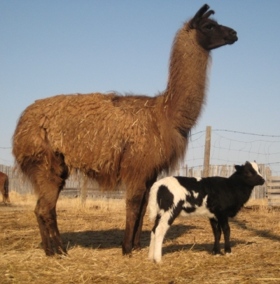llama and jacob lamb