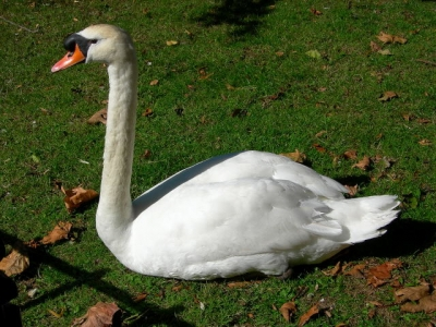 The Swan in the Minnewater Park of Bruges