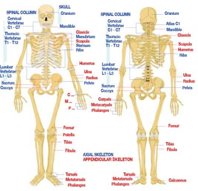 the skeletonnot every bone can be shown in a diagram of a skeleton  for example  the ear bones that transmit sounds from the ear drum  and the hyoid bone supporting the