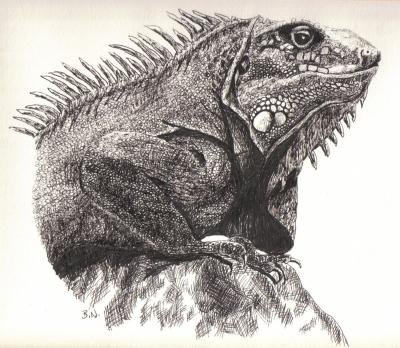 iguana drawing