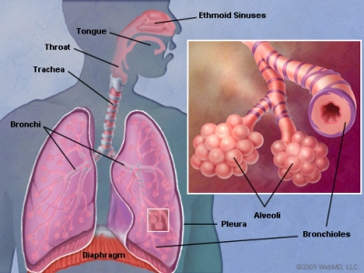 Lung A