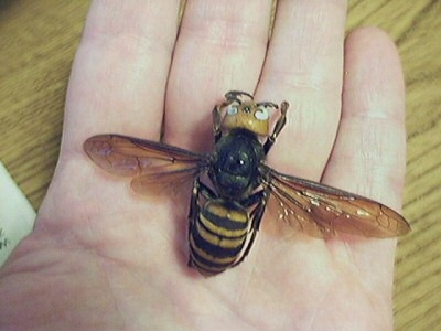 Giant Hornet, Japanese Wasp or also called Giant sparrow Bee