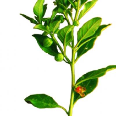 Ashwagandha viagra
