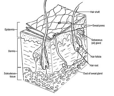 Anatomy of human hair
