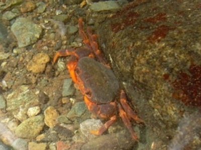 balsahan river freshwater crab picture