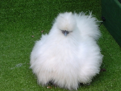 white silkie chicken picture