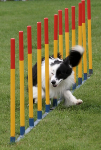 border collie dog weaving poles