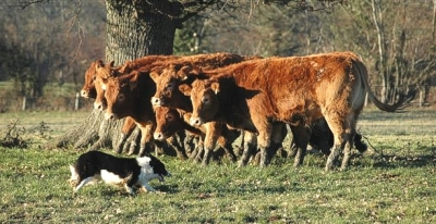 border collie herding cattle