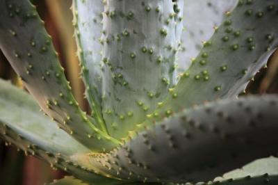 Bitter Aloe