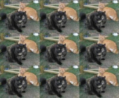 Siamese cat behavior problems