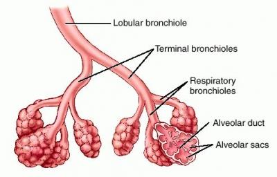 bronchi and bronchioles relationship marketing