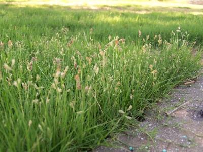 How To Establish Buffalo Grass