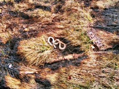 another casualty of controlled swailing/burning of woodlot grasslands; small snakes. It appears that this snake was underground and emerged post-first, and died from exposure to smoke or hot embers. The body of the snake is not burned.