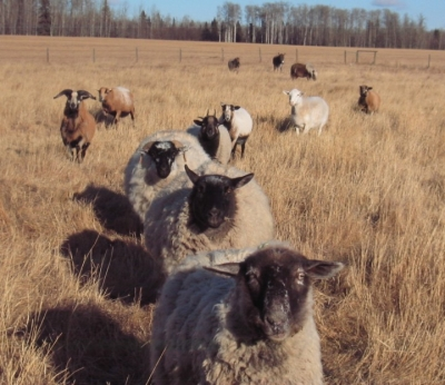 authors pet sheep