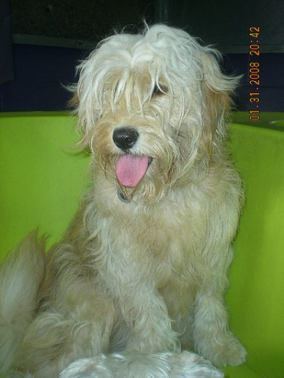 goldendoodle rescue florida. Goldendoodles for Sale