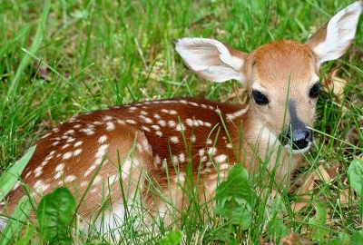 picture of a fawn