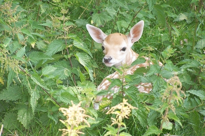 fawn in stinging nettles