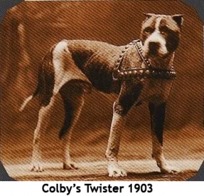 fighting dog from 1903