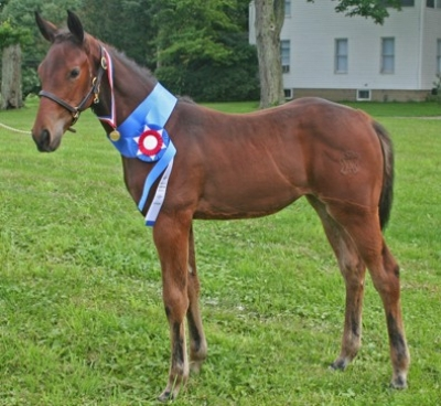 warmblood filly