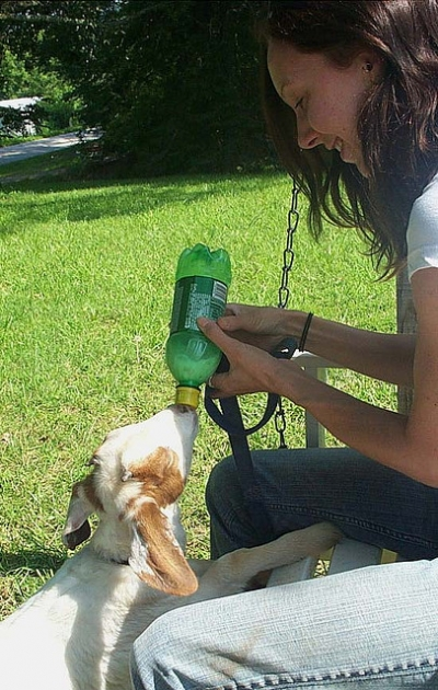 bottle feeding a baby goat