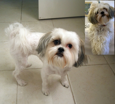 shih tzu puppy haircut
