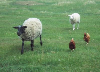 sheep and  hens