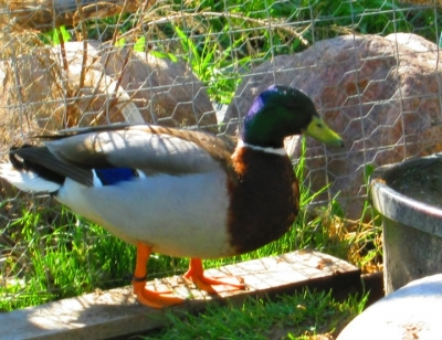 male call duck picture - Duck Breeds