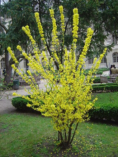 natural forsythia shrub