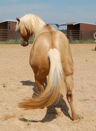 quarter horse at play