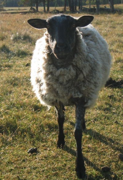 a wool sheep ewe in the fall