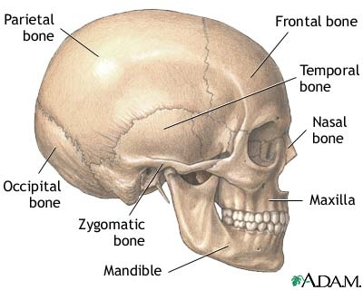 Image result for your skull is made up of 29 different bones
