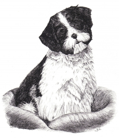 drawing of a Shih Tzu puppy
