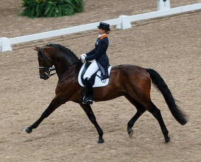 dutch warmblood in dressage at an extended trot