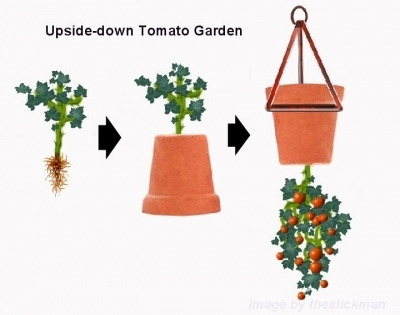 Upside-down terra cotta flower pot with a tomato plant inserted root-end first through the bottom drainage hole and hung upside down