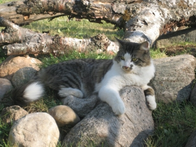 photo of a tabby and white DMH cat