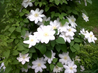 White Clematis Flowers Pictures